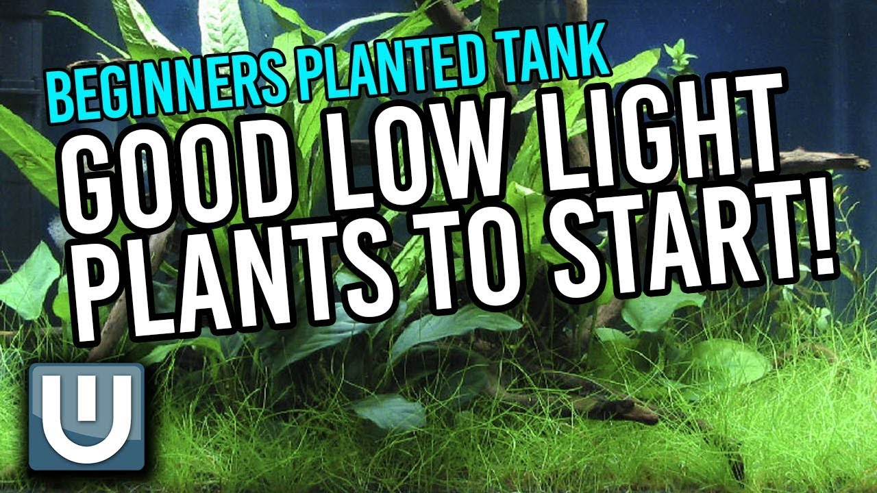 Good Low Light Plants for Planted Tanks Beginners Guide | Part 3  sc 1 st  YouTube & Good Low Light Plants for Planted Tanks Beginners Guide | Part 3 ...