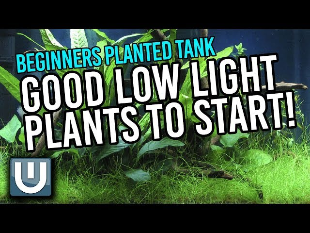 Good Low Light Plants for Planted Tanks Beginners Guide   Part 3