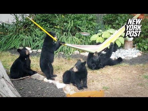 This family of bears really knows how to relax in a back yard