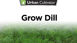 How To Grow Dill Indoors | Urban Cultivator