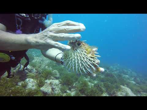 Puffing Up A Puffer Fish