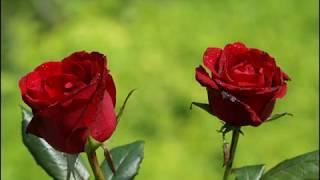 ЦВЕТЫ РОЗЫ (клип) ДАВАЙ НИКОГДА НЕ ССОРИТЬСЯ Наталия Муравьева Песни 60 Roses