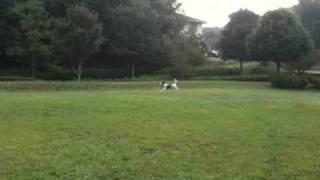 30メートルのロングリードで早朝の公園の広場を走らせています。