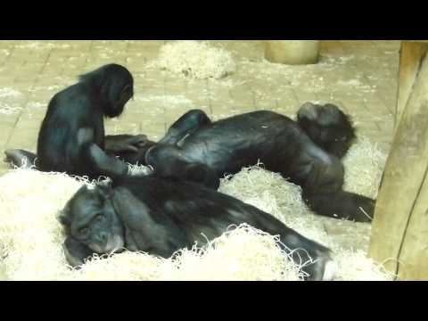 Bonobos Lounging About