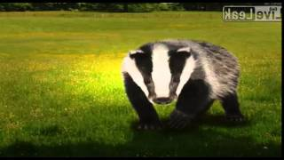 Video Cunty the cunty Badger download MP3, 3GP, MP4, WEBM, AVI, FLV Oktober 2018