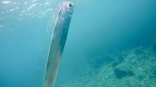 2017年7月1日。日本海某所。魚突き中に深海魚のサケガシラに遭遇。4年ぶ...