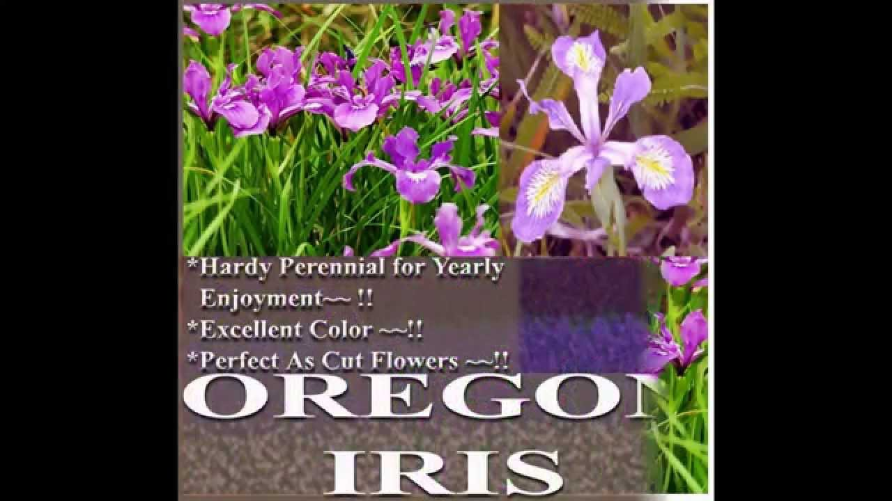 OREGON IRIS Flower Seeds - Iris tenax FLOWER SEEDS on www MySeeds Co