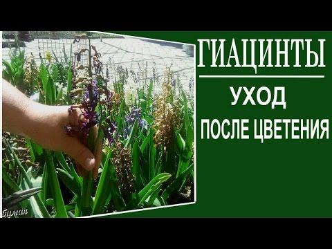 Гиацинты Уход после цветения