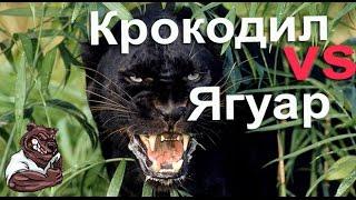 Опасные животные. Дикие животные. Крокодил убивает ягуара