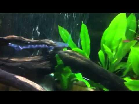 Juruense catfish hand feeding - YouTube