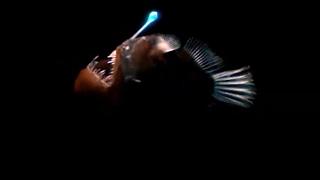 Strange Bioluminescing Deep Sea Animals | Blue Planet | BBC Earth