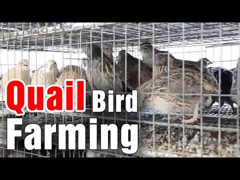Quail farming (Small Q...