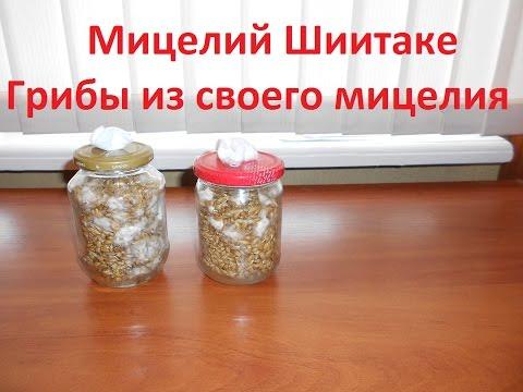 грибы мицелии шиитаке