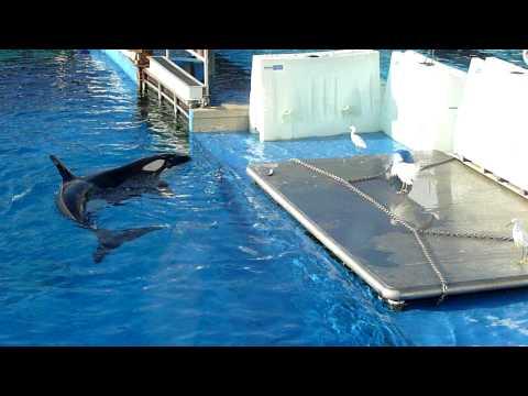 When Sea World Killer Whales Hunt Birds