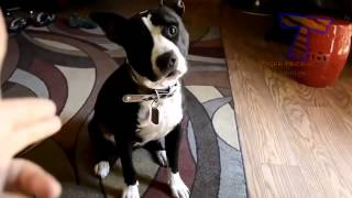 funny dogs playing dead after finger shot funny and cute dog compilation