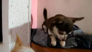 Chihuahua BarbaPapà