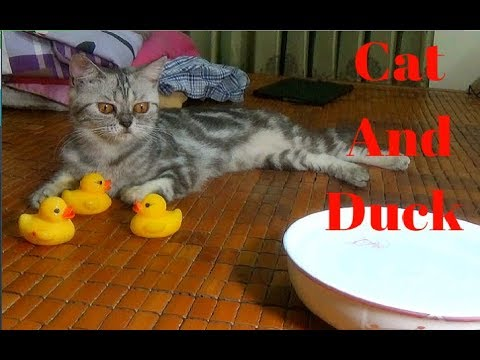 So Funny Cat Play With Duck Rubber | Ducks Toy And Cat 2017 | Meo Cover Home