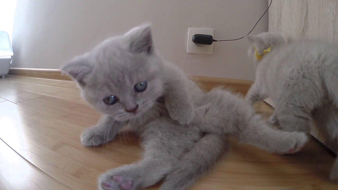 Małe Koty Brytyjskie Niebieskie Youtube