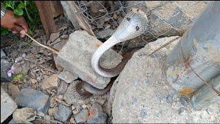 देखिये कहा छुपा था ये कोबरा सांप | Rescue cobra snake from Ahmednagar maharashtra