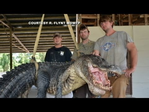 Caught on Tape: RecordBreaking 723Pound Gator Caught by ...