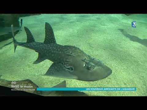 Un poisson Napoléon et des raies guitares à l'Aquarium de Biarritz - France 3 - 9h50