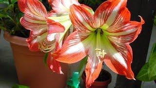 видео Как вырастить луковичные цветы дома