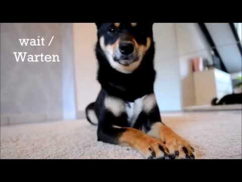 Yoko the Shiba Inu - Dog Tricks