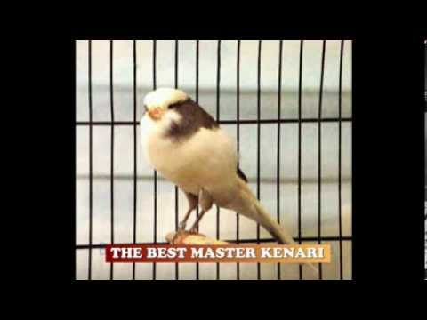 THE BEST MASTER KENARI ( SINGING CANARY )
