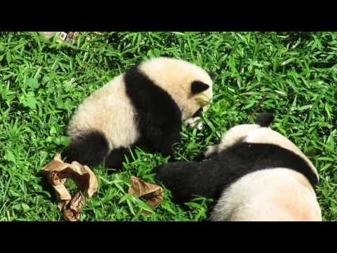 Giant panda cub Bei Bei gives mother Mei Xiang one more chance to give up