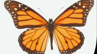 BUTTERFLY - American Sign Language for butterfly
