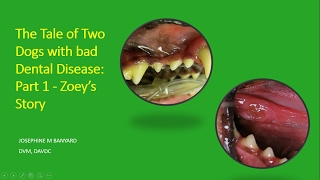 Tale of Two Dogs with bad dental disease   Part 1 Zoey's story