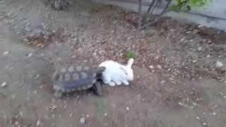 リアル「ウサギとカメ」の追いかけっこ。カメさん意外と速かった!