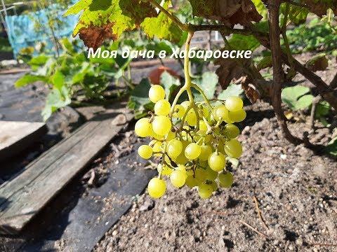 Как защитить виноград от ос и шершней