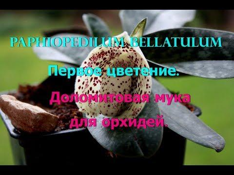 Paphiopedilum bellatulum,цветение. Мой уход за орхидеей. Доломитовая мука для орхидей