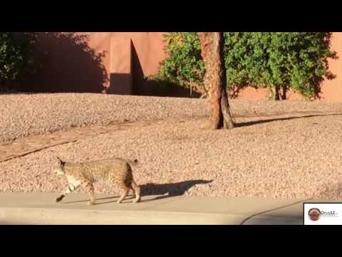 Thumbnail: Scottsdale Bobcat Sighting