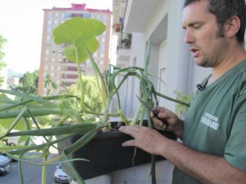 cómo cosechamos cebollas de nuestras macetas//balcón comestible