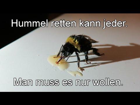 Geschwächte Hummel mit Zuckerwasser retten, bitte kein Honig, wie im Video, verwenden