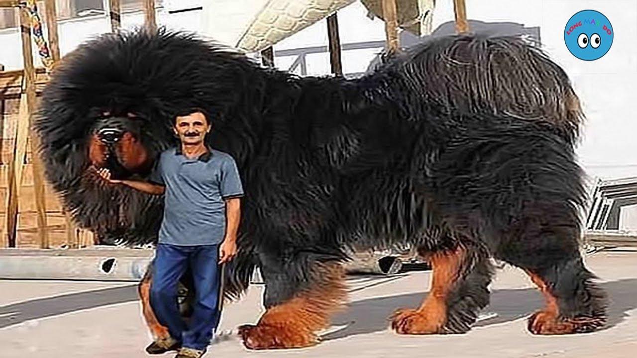 8 สายพันธ์น้องหมาที่ตัวใหญ่ที่สุดในโลก (มีพันธ์อะไรบ้างนะ)#น้องหมา
