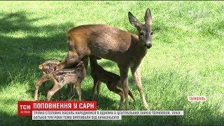 У вольєр просто неба випустили трійко степових косуль, батьків яких врятували від браконьєрів