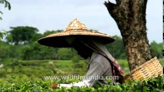 Women pluck tea leaves in slow motion at Gatoonga Tea Estate, Assam