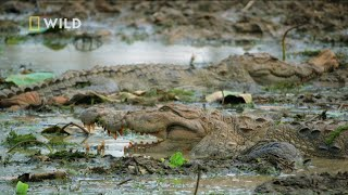 To największa populacja krokodyli błotnych na świecie! [Tajemnice dzikiej Azji]