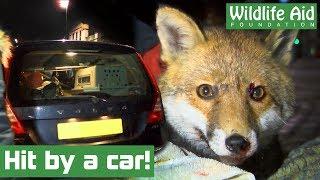 Fox, hit by car, nursed back to health!