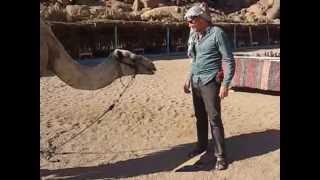 Верблюд с удовольствием кушает картон!