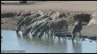 Zebry przy wodopoju - świat zwierząt Afryki