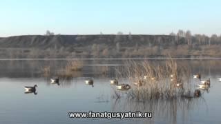 Охота на утку и гуся на реке весной 2014