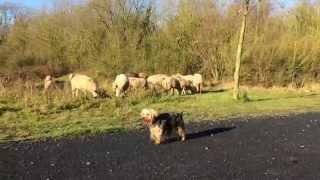 19_Poupy, yorkie et chien de troupeau