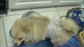 Oops I Bubble Wrapped My Pomeranian