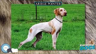 Ariege Pointer  Everything Dog Breeds