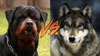 Ротвейлер против волка(перезалив 20.08.19)
