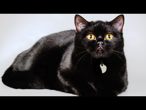 Things About The Bombay Cat